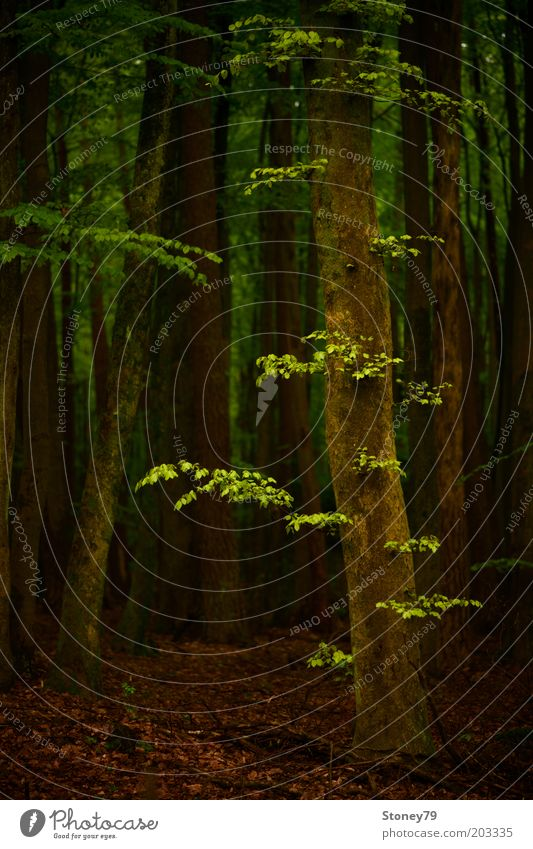 Frühlingswald Natur Baum grün ruhig Wald dunkel braun Kraft Wachstum natürlich Idylle Buche Perspektive Buchenwald