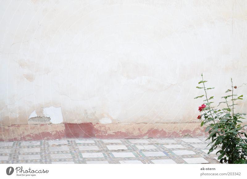 Rosengarten Blume Mauer Wand Fassade Terrasse Stein ästhetisch braun grau rosa rot Außenaufnahme Textfreiraum oben Boden Verfall alt Putz abblättern Garten