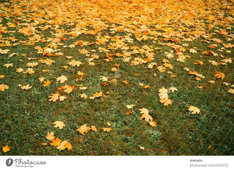 blattverlauf Umwelt Natur Pflanze Herbst Klima Gras Park Wiese trist unten gelb grün Verfall Vergänglichkeit verlieren Blatt Herbstlaub herbstlich Boden Verlauf