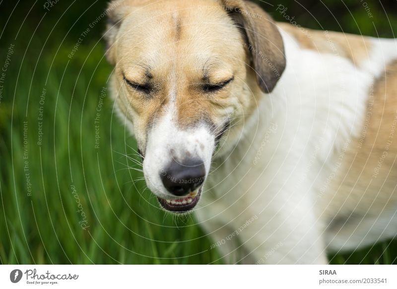 Man muss nur feste kauen Natur Gras Tier Haustier Hund Tiergesicht Fell 1 lustig gelb grün weiß Kauen Farbfoto Außenaufnahme Nahaufnahme Menschenleer Tag