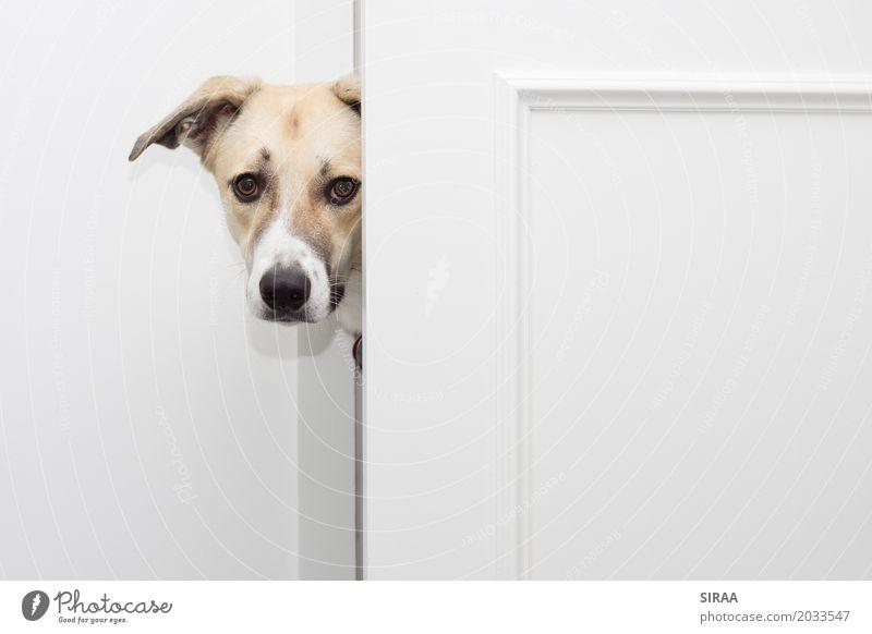 Da bin ich aber neugierig Tier Haustier Hund Tiergesicht Fell 1 Neugier hell Tür Mischling Farbfoto Innenaufnahme Menschenleer Textfreiraum rechts Totale