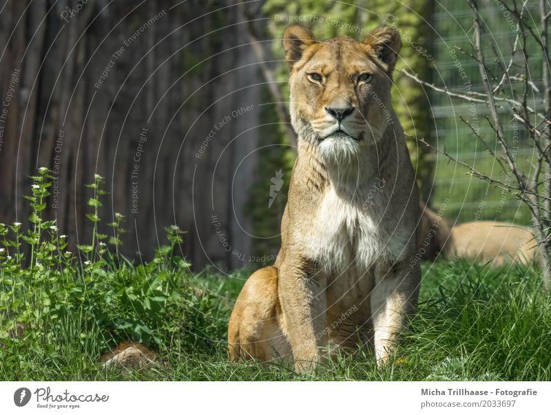 Im Blick der Löwin Umwelt Natur Tier Sonne Sonnenlicht Schönes Wetter Pflanze Blume Gras Wildtier Tiergesicht Fell Löwe 1 beobachten ästhetisch elegant groß nah