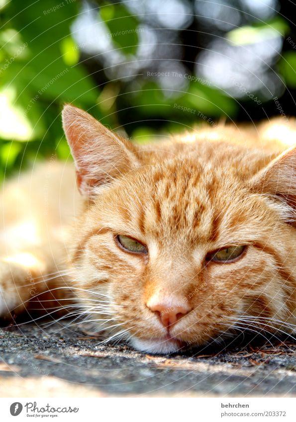 wat willst du denn schon wieder? Auge Tier Erholung Katze Nase schlafen Coolness Ohr Tiergesicht liegen Fell Gelassenheit Müdigkeit genießen Langeweile Haustier