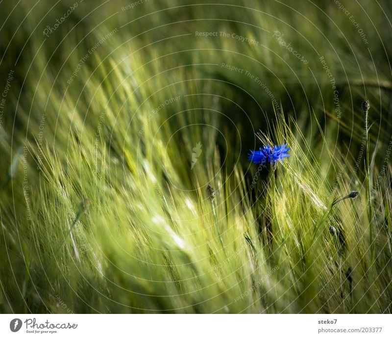 blau grün Pflanze Sommer Einsamkeit Blüte Landschaft Feld weich einzigartig Blühend Duft Kornblume Textfreiraum links Blume Textfreiraum oben