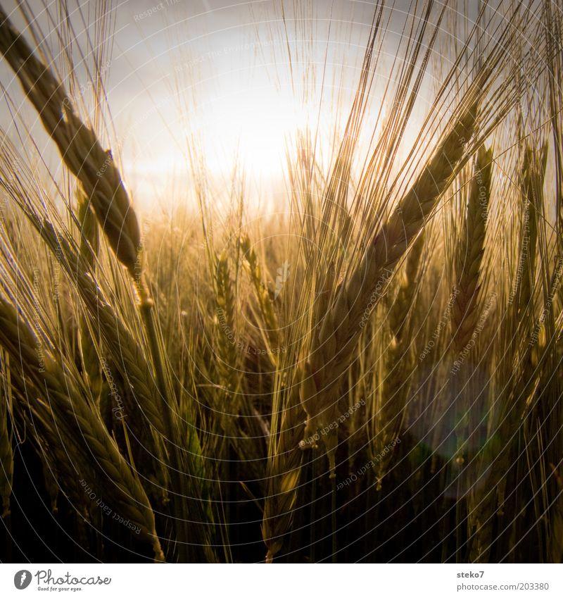 gelb Natur Pflanze Sonne Sonnenlicht Schönes Wetter Nutzpflanze Feld Duft Wachstum heiß trocken Wärme gold Getreidefeld Sommer Energie Weizenfeld Farbfoto