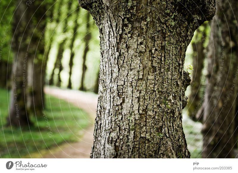 alleene Natur Baum grün Wege & Pfade Park nah Baumstamm Allee Baumrinde Laubbaum