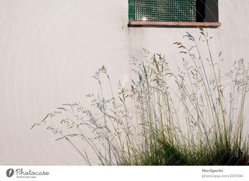 Schattengräser weiß grün Wand Fenster Gras Garten Mauer Gitter