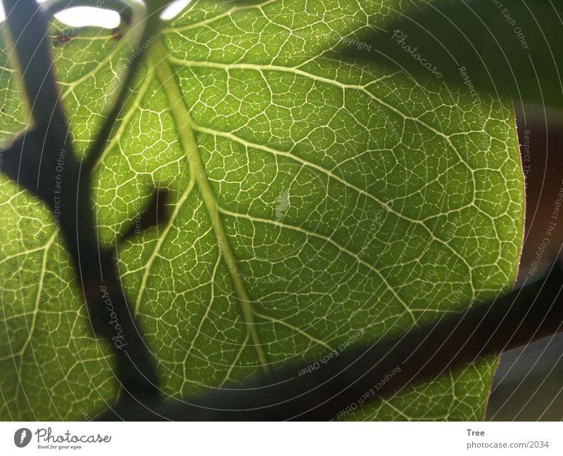 Blatt grün Licht Gefäße