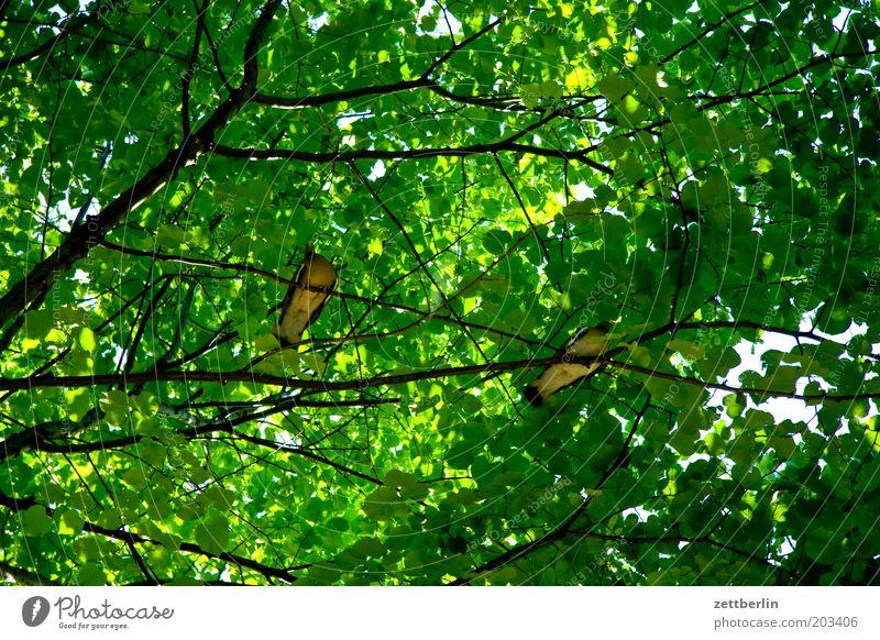 Zwei Tauben in Paris Vogel sitzen ruhig Pause Baum Blätterdach Ast Zweig Sommer dunkel Schutz grün Blattgrün Froschperspektive Tierpaar
