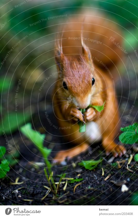 Nussallergie (II) Umwelt Natur Pflanze Tier Erde Frühling Sommer Blatt Löwenzahn Wildtier Tiergesicht Fell Krallen Pfote Eichhörnchen Nagetiere 1 Fressen braun