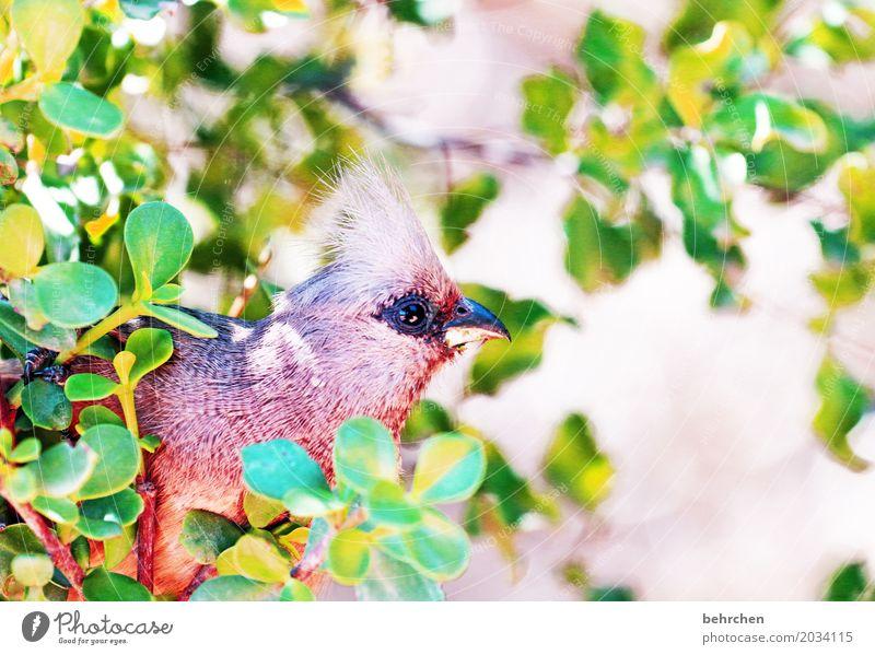 mousebird Ferien & Urlaub & Reisen Tourismus Ausflug Abenteuer Ferne Freiheit Safari Natur Pflanze Tier Baum Sträucher Blatt Südafrika Wildtier Vogel