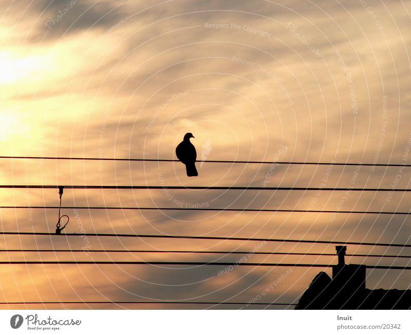Vogel auf dem Drahtseil Stimmung Eisenbahn Taube Abenddämmerung Oberleitung