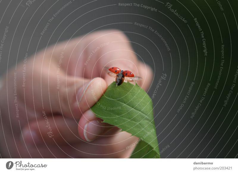 Abflug Mensch Natur Hand rot Blatt Tier schwarz Glück elegant fliegen Finger ästhetisch Flügel Lebensfreude Käfer Marienkäfer