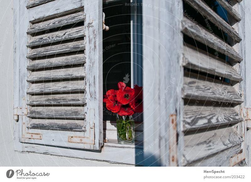 Blumenladen Mohn Fenster Fensterladen Lamellenjalousie rot weiß Blumenstrauß Farbstoff verfallen alt offen Farbfoto Gedeckte Farben Außenaufnahme