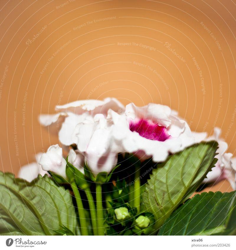 blümsche Pflanze Blume Blatt Blüte Topfpflanze grün Blütenblatt Blütenknospen Farbfoto Innenaufnahme Textfreiraum oben rosa orange Primelgewächse