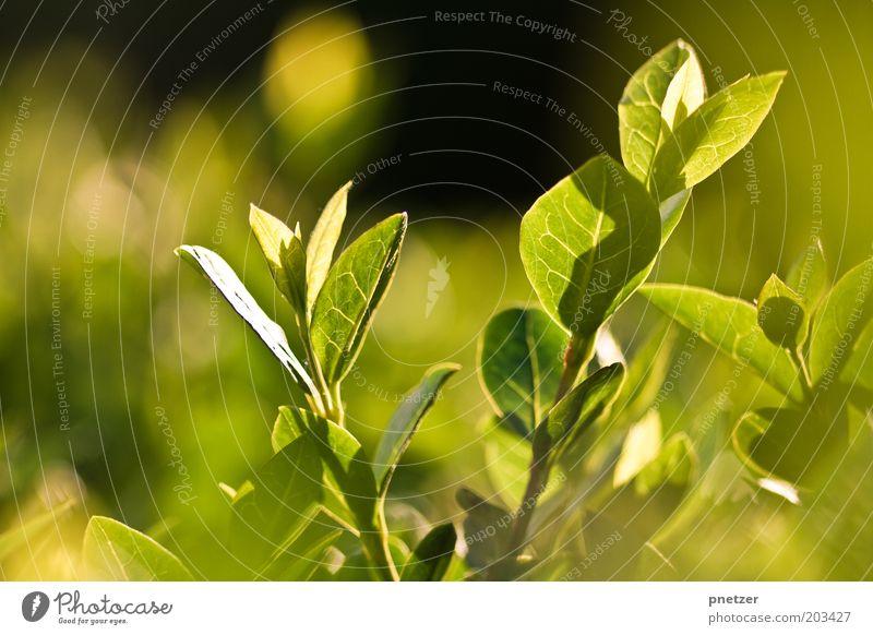 Grün Umwelt Natur Pflanze Sonnenlicht Frühling Sommer Klima Wetter Schönes Wetter Sträucher Blatt Grünpflanze Wiese außergewöhnlich glänzend gut schön