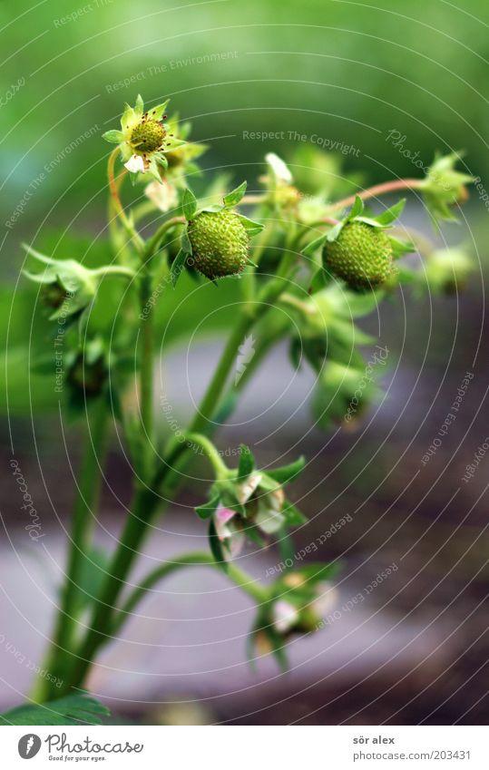 nicht mehr lange... grün Pflanze ruhig Blüte Garten warten Frucht Wachstum natürlich Blühend Bioprodukte Beeren Erdbeeren geduldig Vorfreude fruchtig