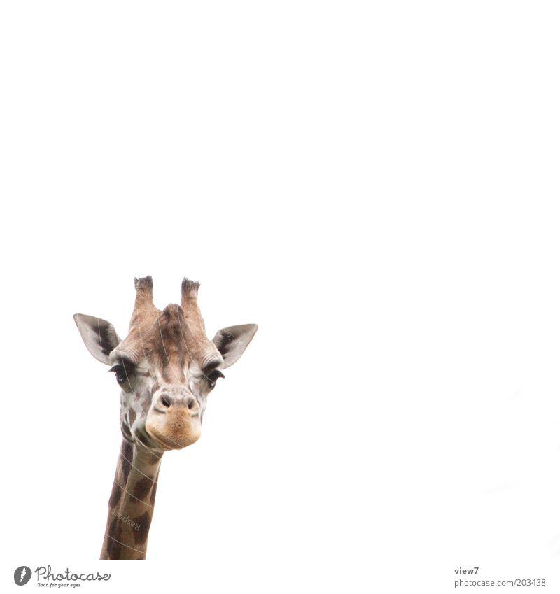 Jürgen Meinhardt Tier Wildtier Tiergesicht Zoo Giraffe 1 beobachten Denken entdecken Blick ästhetisch authentisch hoch Neugier niedlich oben positiv schön weiß