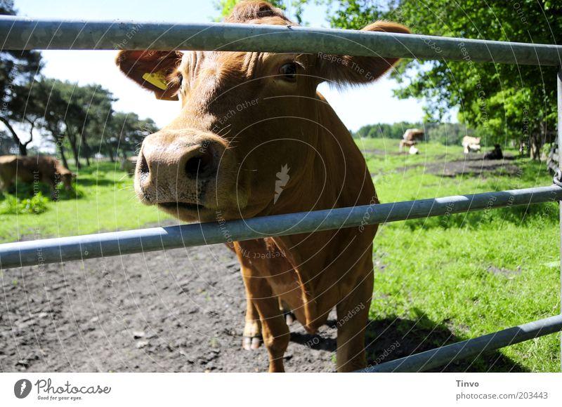 """""""ja, bitte?!"""" Tier Nutztier Kuh Tiergesicht Fell Neugier braun Natur Weide Metallstange Milchkuh Rind Farbfoto Außenaufnahme Nase Zaun Kopf Menschenleer Tag"""