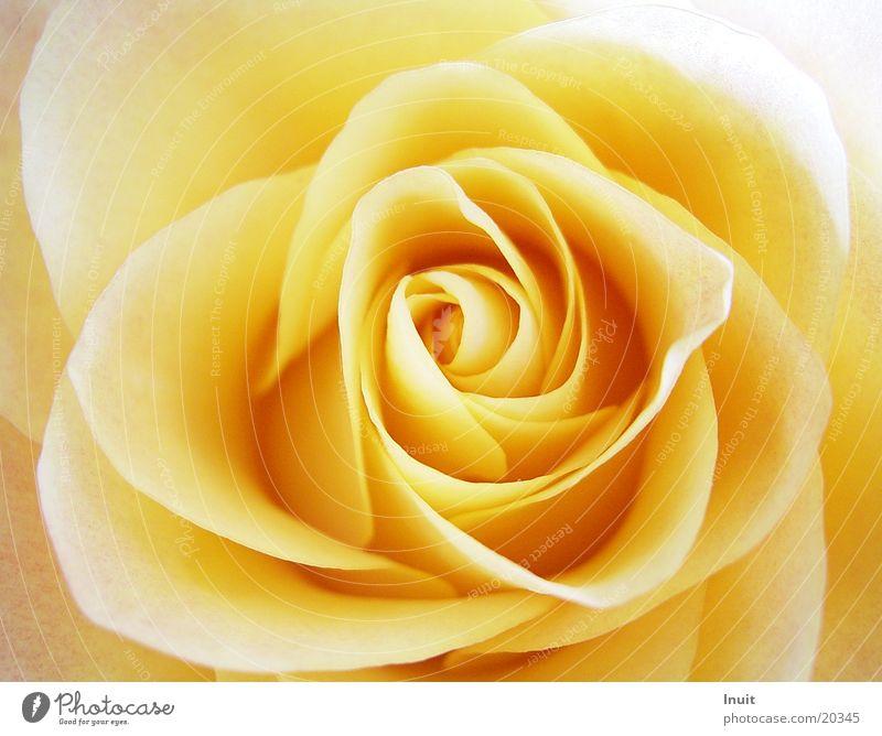 Rose 02 gelb Blüte Detailaufnahme Rosenblüte
