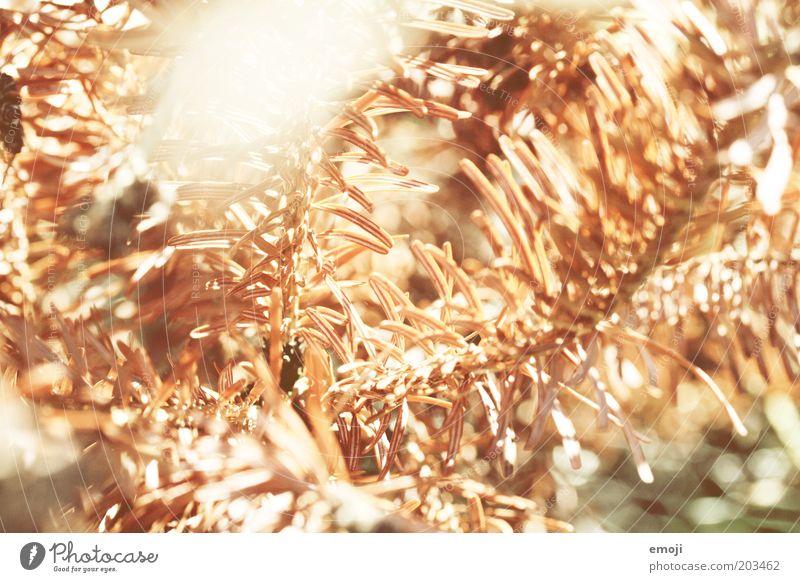 glühen Natur Pflanze Herbst Schönes Wetter heiß Wärme Tanne Tannenzweig Tannennadel Nadel Nadelbaum Fichte dehydrieren trocken Licht Lichtspiel Farbfoto