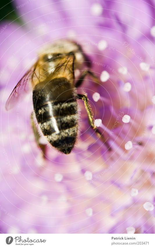 give me the food Natur schön Blume Pflanze Sommer Tier Farbe Blüte Beine rosa Gesäß nah Flügel Streifen Biene Fressen