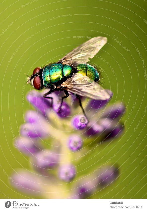 Fliege Natur grün Pflanze Sommer Tier Blüte Freiheit warten Fliege authentisch violett Flügel natürlich Makroaufnahme Lavendel Frühlingsgefühle