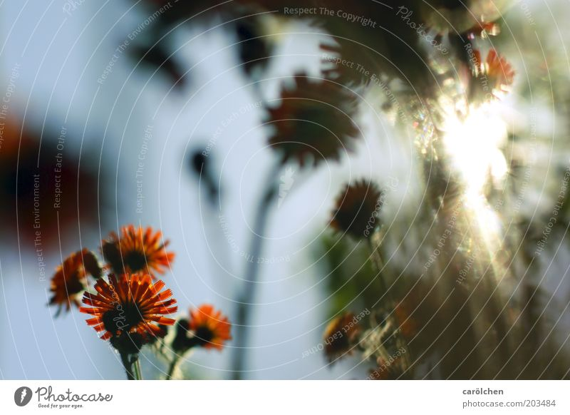 Sonne tanken Umwelt Natur Pflanze Sonnenlicht Sommer Blume Blüte Wärme Sonnenstrahlen orange Blumenwiese Wiese Lichteinfall Farbfoto Außenaufnahme Menschenleer