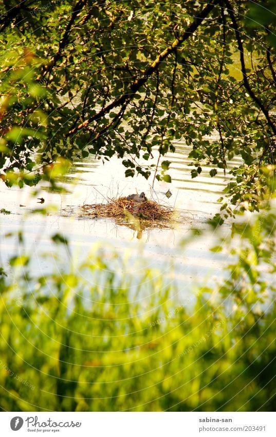 Blässhuhn beim Brüten Natur Wasser Pflanze Sommer Tier ruhig Umwelt Landschaft Frühling See Vogel Sträucher Schutz Schönes Wetter Brutpflege Nestbau