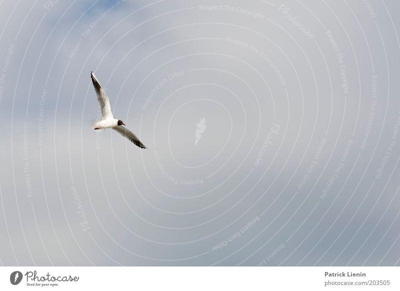 schwerelos Natur Tier Luft Himmel Wolken Sommer fliegen Möwe Schweben Schwerelosigkeit schön Flügel schwarz Vogel Wattenmeer Farbfoto Außenaufnahme Menschenleer