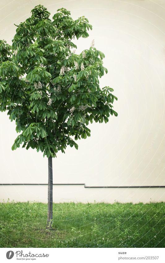 Stadtkind Umwelt Natur Pflanze Baum Wiese Mauer Wand stehen Wachstum einfach klein dünn grün weiß Einsamkeit Kastanienbaum einzeln nachhaltig Rasen Fassade
