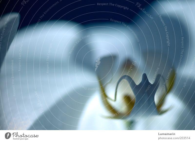 Your ghost schön weiß Blume blau Pflanze Blüte Stimmung elegant ästhetisch nah weich Vergänglichkeit exotisch Makroaufnahme harmonisch Orchidee