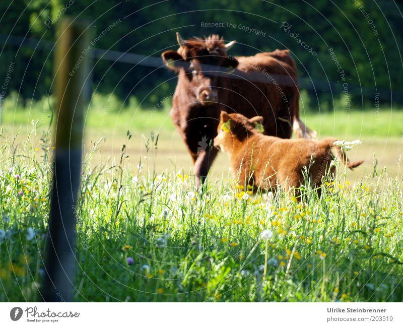 Das Wichtigste im Leben, mein Sohn..... Natur grün Wiese Gras Landwirtschaft Kuh Weide Zaun Pflanze Horn Pfosten Holz Kalb Nachkommen Schottland Rind