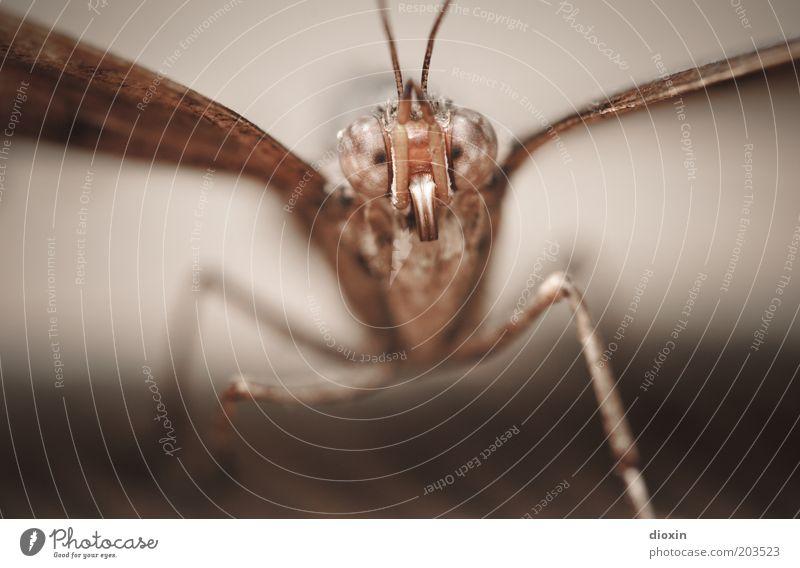 Können diese Augen lügen? Tier Schmetterling Tiergesicht Flügel Facettenauge Fühler Beine 1 beobachten klein braun Insekt Farbfoto Nahaufnahme Detailaufnahme