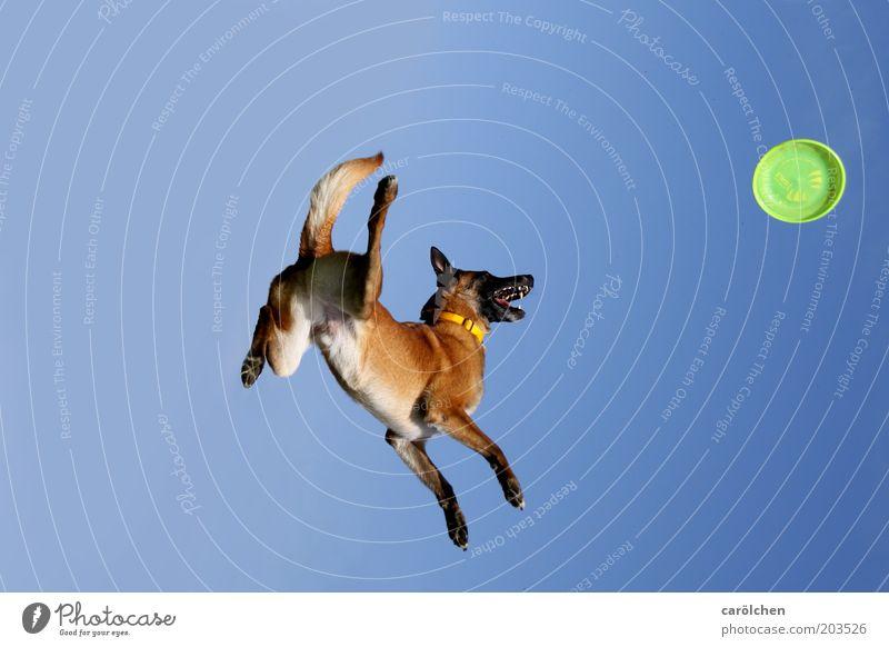 Fallrückzieher Tier Haustier Hund 1 fliegen Spielen springen Frisbee Farbfoto Außenaufnahme Tag Ganzkörperaufnahme Himmel blau grün Schweben Sport-Training