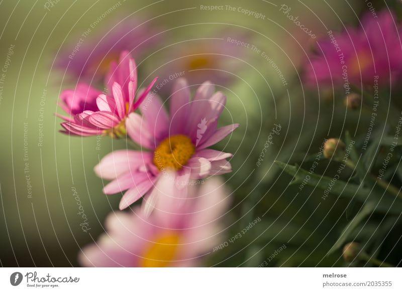 sommerlich II Muttertag Natur Pflanze Sonnenlicht Frühling Schönes Wetter Blume Sträucher Blüte Wildpflanze Margerite Korbblütengewächs Blütenblatt