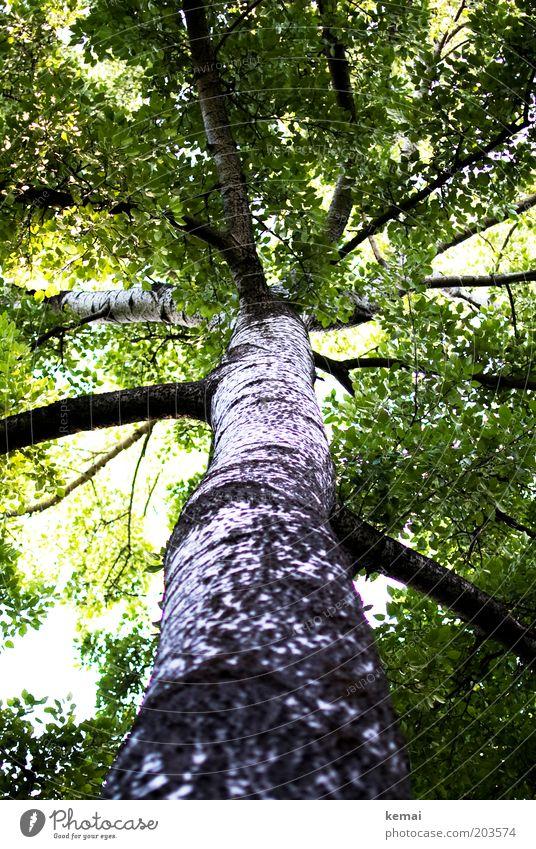 Dicke Äste Natur alt weiß Baum grün Sommer Frühling Wärme hell Umwelt groß hoch Wachstum Klima Ast Schönes Wetter