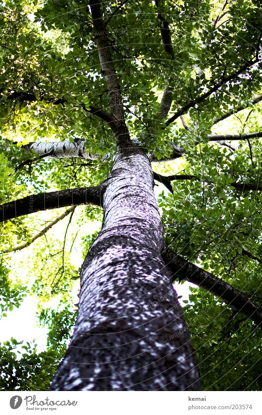 Dicke Äste Umwelt Natur Sonnenlicht Frühling Sommer Klima Schönes Wetter Wärme Baum Grünpflanze Birke Ast Zweig Blätterdach Wachstum alt groß hell hoch grün