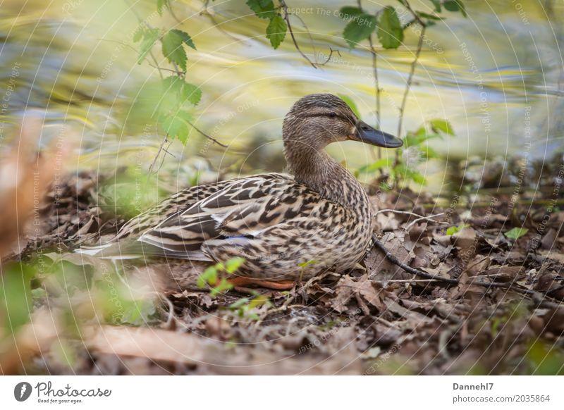 Damenente Natur Sommer Wasser Blatt Tier Umwelt Frühling feminin See liegen Wildtier sitzen warten Sicherheit Schutz Seeufer