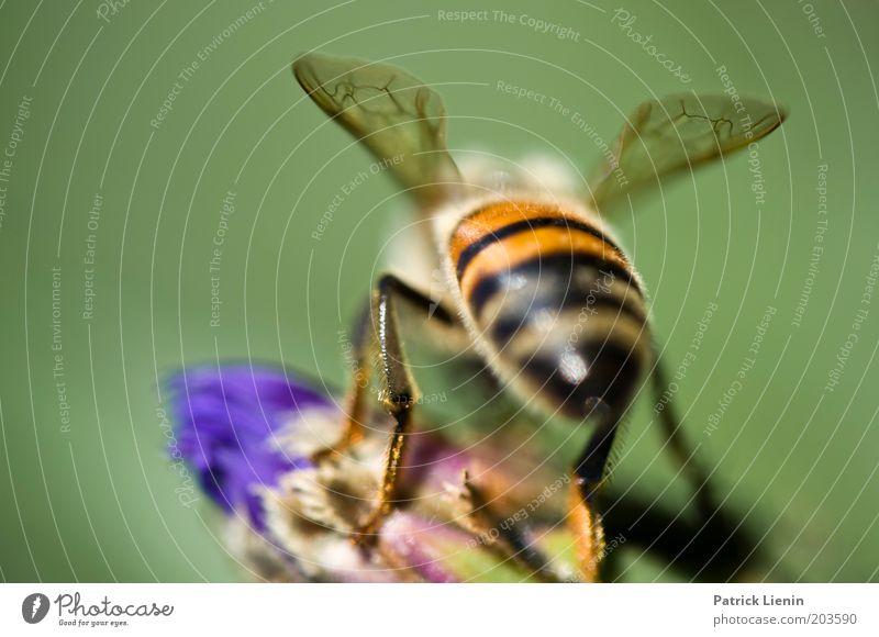 Abflug Tier Biene Nektar Blume Flügel mehrfarbig schön nah klein zerbrechlich Pflanze Natur grün sitzen Insekt Farbfoto Makroaufnahme Menschenleer