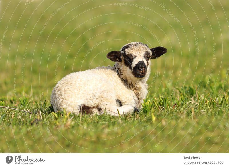 niedliches gesprenkeltes Lamm Gesicht Baby Jugendliche Natur Landschaft Tier Gras Wiese Fressen stehen klein natürlich grün schwarz weiß Bauernhof jung Rasen