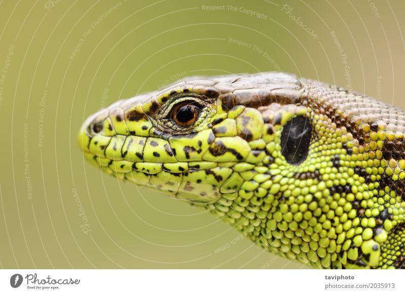 ausführliches Porträt der Sandeidechse Natur Mann Farbe schön grün Tier Gesicht Erwachsene Umwelt natürlich klein braun wild Haut Lebewesen