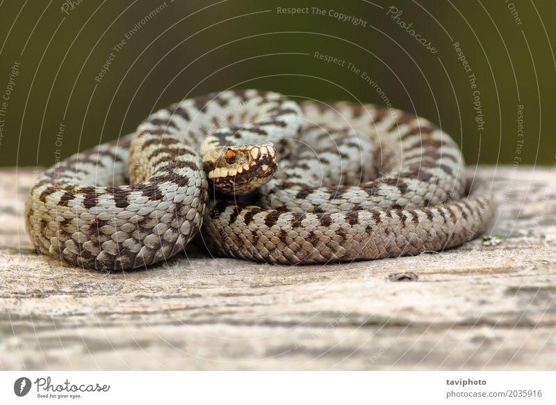 Europäische gekreuzte Addierer, die auf Holz sich aalen schön Umwelt Natur Tier Wildtier Schlange natürlich wild braun grau Angst gefährlich Vipera berus