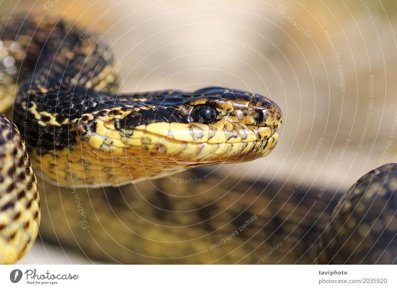 Makroporträt der schönen europäischen Schlange Natur Tier Erwachsene natürlich braun wild groß gefährlich Mund Lebewesen ökologisch gepunktet Reptil