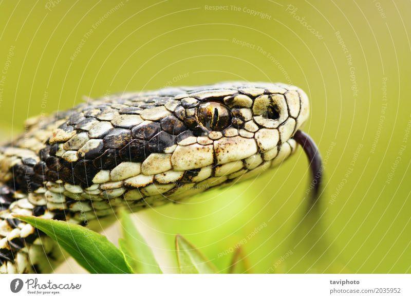 Porträt der weiblichen Vipera Ursinii Frau Erwachsene Natur Tier Wiese Schlange wild braun Angst gefährlich Kopf Natter vertikal Pupille Zunge Ottern Ungarisch