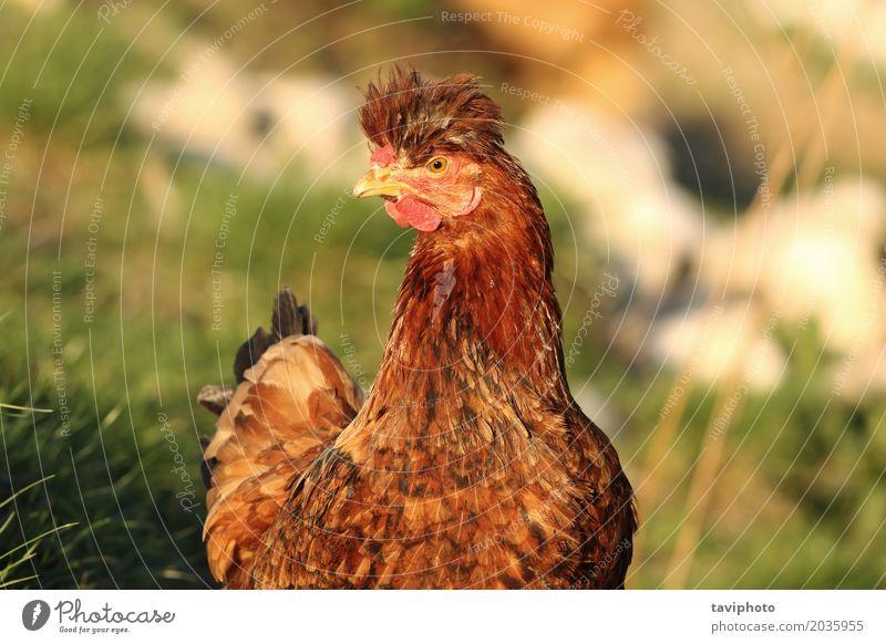 Porträt der lustigen Henne Fleisch schön Gesicht Frau Erwachsene Natur Landschaft Tier Vogel niedlich braun rot bizarr Pute Bauernhof Hähnchen heimisch Geflügel