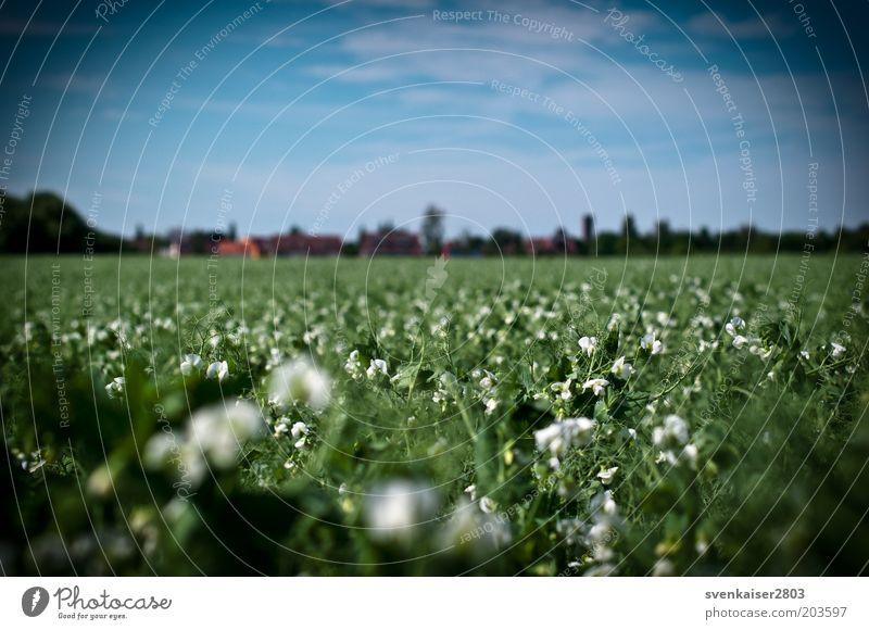 Sehschwäche Sommer Umwelt Natur Landschaft Pflanze Himmel Wolken Schönes Wetter Grünpflanze Nutzpflanze Feld blau grün weiß Farbfoto mehrfarbig Außenaufnahme