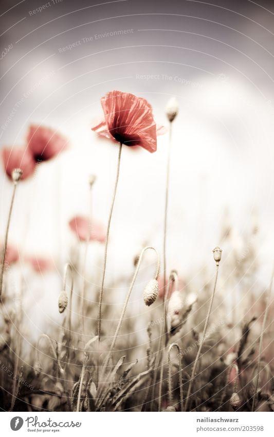 Mohnblumen Natur Himmel Blume Pflanze rot Sommer Blüte Gras Frühling braun Wetter Umwelt ästhetisch Schönes Wetter