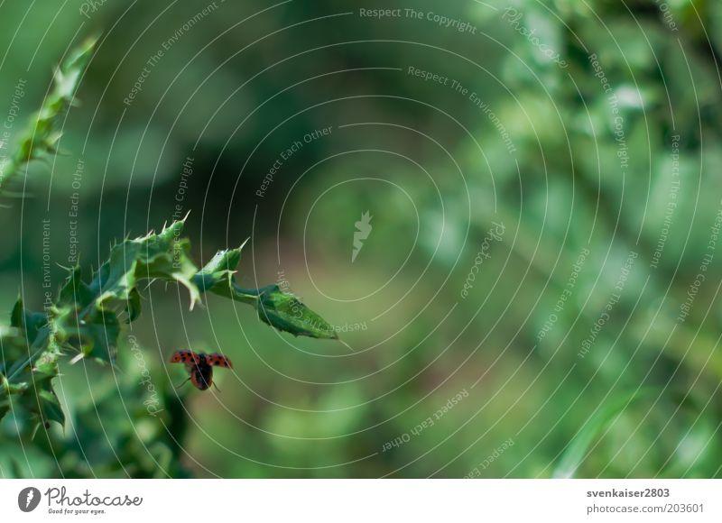 Abflug Umwelt Natur Pflanze Tier Sommer Marienkäfer 1 fliegen grün rot Abschied Farbfoto Außenaufnahme Nahaufnahme Menschenleer Tag Unschärfe