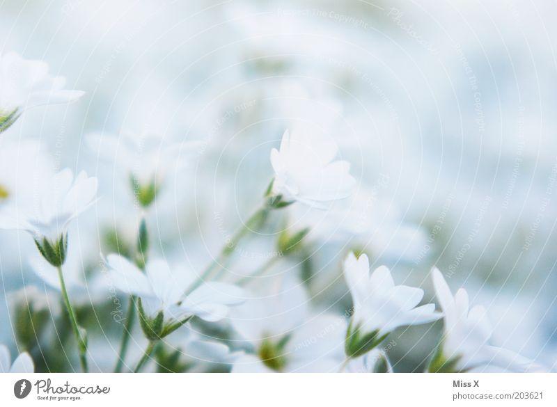 Bettsacherla II Natur weiß Blume Pflanze Wiese Blüte klein Blühend
